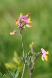 Pink Corydalis - Corydalis sempervirens