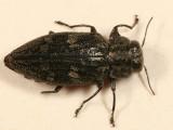 Chrysobothris rugosiceps