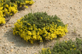 Golden-heather - Hudsonia ericoides