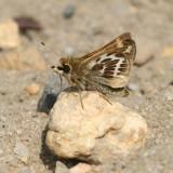 Cobweb Skipper - Hesperia metea