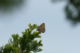 Hessel's Hairstreak - Callophrys hesseli