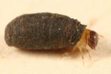 Casebearer Beetle larva