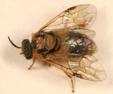 Introduced Pine Sawfly - Diprion similis