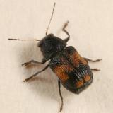 Pachybrachis subfasciatus