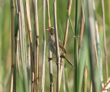 Saltmarsh Sharp-tailed Sparrow - Ammodramus caudacutus