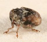 Ceutorhynchus neglectus