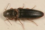Limonius griseus