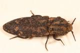 Danosoma brevicorne