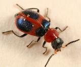 Collops quadrimaculatus