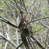 American Robin - Turdus migratorius (feeding young)