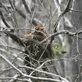 American Robins - Turdus migratorius (babies in the nest)