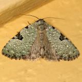 9065 -- Green Leuconycta Moth -- Leuconycta diphtheroides
