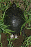 Spotted Turtle (Clemmys guttata) laying eggs at night