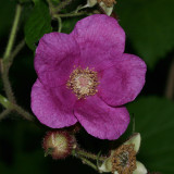 Rugosa Rose - Rosa rugosa