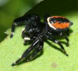 Phidippus clarus