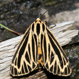 8175 - Little Virgin Tiger Moth - Grammia virguncula