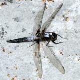 Chalk-fronted Corporal - Ladona julia (male)