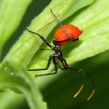 Wheel Bug nymph - Arilus cristatus