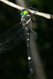 Illinois River Cruiser - Macromia illinoiensis