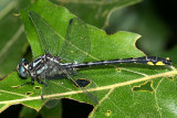 Rapids Clubtail - Gomphus quadricolor (male)