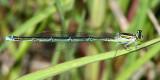 Stream Bluet - Enallagma exsulans (female)