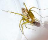 Lynx Spiders - Oxyopidae