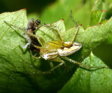 Striped Lynx - Oxyopes salticus