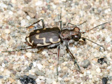 Common Shore Tiger Beetle - Cicindela repanda