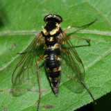 Ornate Snipe Fly - Chrysopilus ornatus