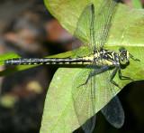 Southern Pygmy Clubtail - Lanthus vernalis
