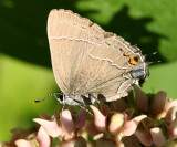 Northern Oak Hairstreak - Satyrium favonius