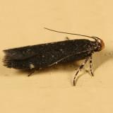 2189 -- Aroga Moth -- Aroga epigaeela