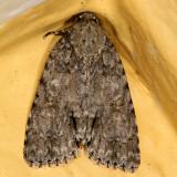 9245 -- Hesitant Dagger Moth -- Acronicta haesitata