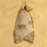 3747 - The Batman Moth - Coelostathma discopunctana