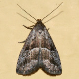 8420 - Large Hypenodes Moth - Hypenodes caducus