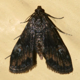 4755 -- Waterlily Leafcutter Moth -- Synclita obliteralis