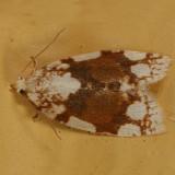 3624 -- White-spotted Leafroller Moth -- Argyrotaenia alisellana