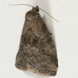 9037 -- Dotted Graylet Moth -- Hyperstrotia pervertens