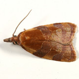 3716 - Spring Dead-leaf Roller  - Sparganothis diluticostana