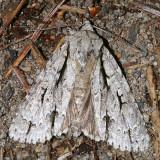 9238 - Lobelia Dagger Moth - Acronicta lobeliae