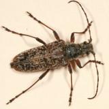 Anthophylax attenuatus