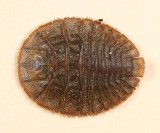Psephenus herricki (larva)