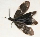 Dark Fishfly - Nigronia serricornis