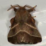 7701 -- Eastern Tent Caterpillar Moth -- Mallacosoma americanum