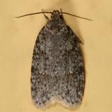 0911 -- Bog Bibarrambla Moth -- Bibarrambla allenella