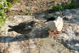 Common Tern - Sterna hirundo  (feeding young)