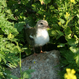 Common Tern - Sterna hirundo  (chick)