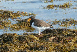 Shorebirds - genus Haematopus