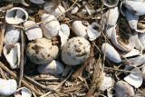 Common Tern - Sterna hirundo  (eggs blending in with shells)