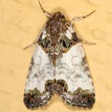 9062 -- Tufted Bird-dropping Moth -- Cerma cerintha